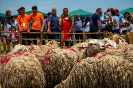 sheep shearing festival